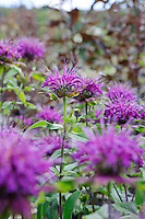 Monarda 'Prairie Night'