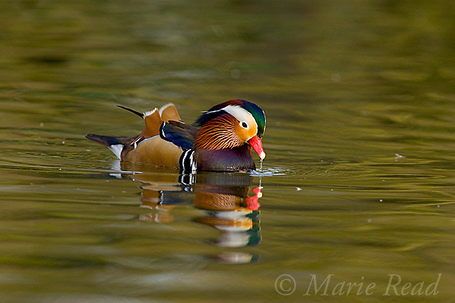 Mandarin Duck (Aix galericulata), male, California, USA