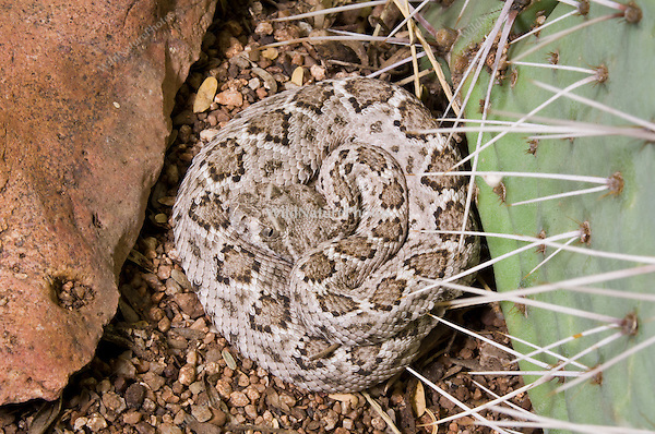 "A baby Western Diamondback Rattlesnake (Crotalus atrox), about 8"" long, with only a button for a rattle, coiled at rest near a Prickly Pear.  Tucson, Arizona."