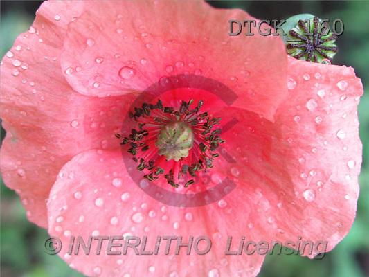 Gisela, FLOWERS, photos(DTGK160,#F#) Blumen, flores, retrato