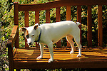 Emma. Jack Russell terrier.