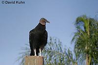 0111-0956  Black Vulture, Coragyps atratus  © David Kuhn/Dwight Kuhn Photography