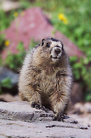 Hoary Marmot,Marmota caligata, young with flowers, Logan Pass,Glacier National Park, Montana, USA