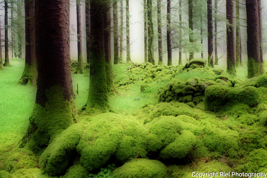 The wonderful green of Ireland!  Moss covered rocks among trees with an atmospheric foggy background.