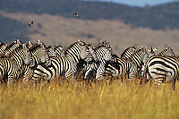 Burchell's Zebra or Plains Zebra (Equus burchelli), Africa.  Serengeti Plains, Tanzania.