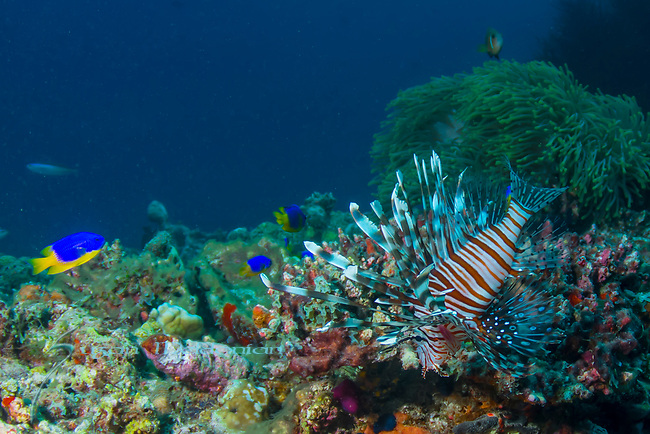 Lionfish on Reef, Red Lionfish, Pterois volitans, Toxic, venomous fish
