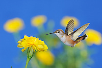 Rufous Hummingbird (Selasphorus rufus), female in flight feeding on Marigold (Tagetes sp.), Gila National Forest, New Mexico, USA