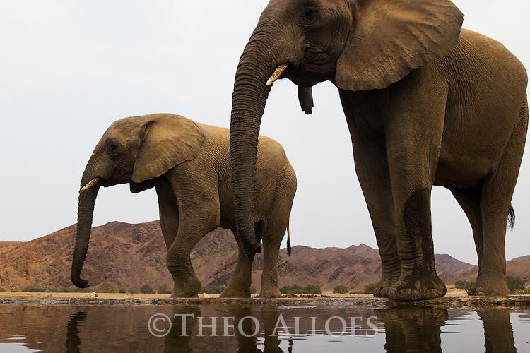 Namibia;  Namib Desert, Skeleton Coast, Hoanib River, desert elephants (Loxodonta africana) at artificial waterhole