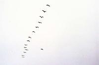 Pelicans (?) fly along Moss Beach, 1987.  birds<br />