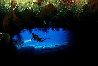 A diver (MR) investigates a black coral bush, Antipatharia dichotoma. More black coral hangs from the roof of this underwater cavern off Niihau. Hawaii.