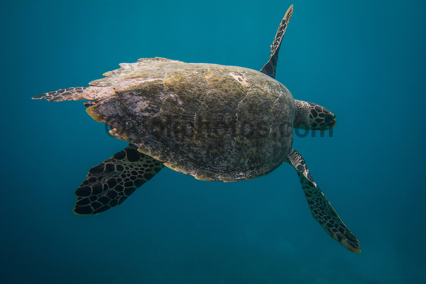 Four Seasons,Kuda Huraa, Maldives (Sunday, August 16, 2015) A four month old Hawksbill turtle named 'Beast' was release this afternoon after a two month rehabilitation program at the Four Season Resort Turtle Conservation Centre. Beast was released on an outer coral reef with a number of other resident Hawksbill turtles. He swum away with in seconds of being put in the water. Photo: joliphotos.com