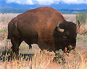 BUFFALO<br /> GRAND TETON NATIONAL PARK, WYOMING