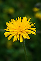 Leontodon hispidus, mid June. A wildflower commonly known as Rough hawkbit, a short, grassland perennial.