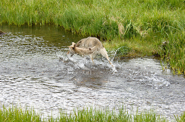 Wild Coyote (Canis latrans) chasing cutthroat trout in one of their spawning streams.  Western U.S., June.