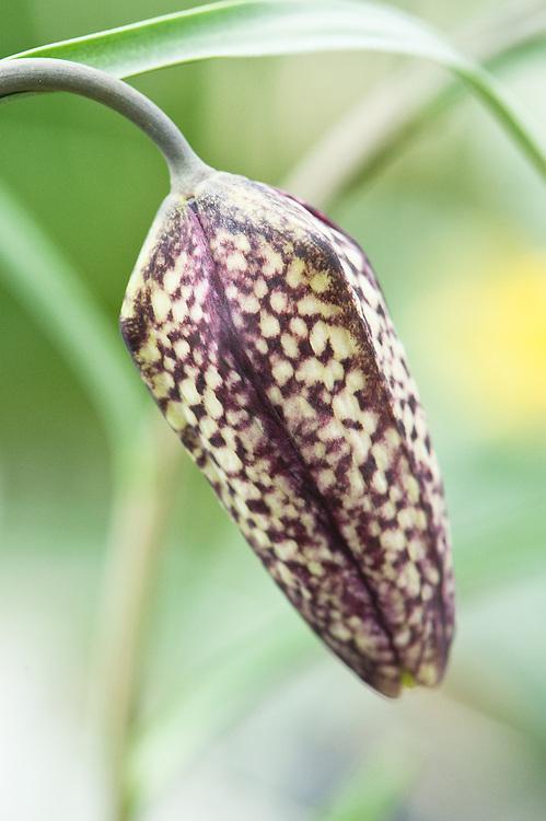 Snake's head fritillary (Fritillaria meleagris), late March.