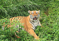 Tiger resting in the middle of green shrubs and grass,frowning.