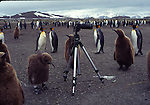 king penguins and tripod