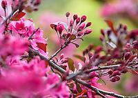 Pink blossom flower buds of Flowering Crabapple (Malus ) 'Liset' in San Francisco Botanical Garden