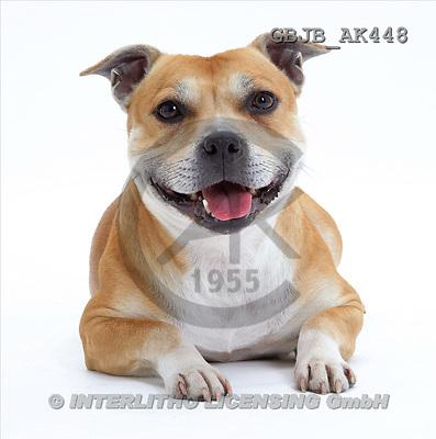 Kim, ANIMALS, fondless, photos, staffordshire terrier(GBJBAK448,#A#) Tiere ohne Fond, animales sind fondo