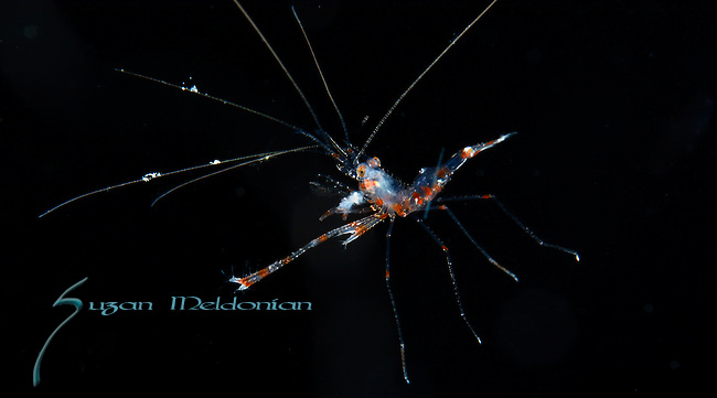 Banded coral shrimp larva on black water dive, Gulfstream current.