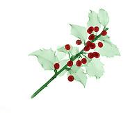 An x-Ray holly (Ilex aquifolium) bush with berries
