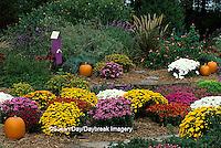 63821-12819 Fall Garden - Chrysanthemums, pumpkins, butterfly house, Japanese Blood Grass, Lantana & Mexican Sage  Marion Co.  IL