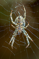 European garden spider, diadem spider, cross spider, or crowned orb weaver, Araneus diadematus, Gorbeia Natural Park, Alava, Basque Country, Spain