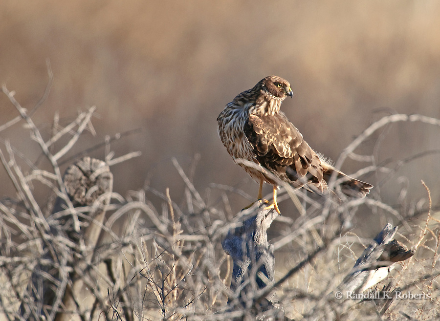 A Northern Harrier (Circus cyaneus) watches for dinner at the Bosque del Apache National Wildlife Refuge, near Socorro, New Mexico.