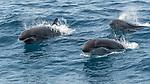 Mexico, Baja California Sur, Sea of Cortez, short-finned pilot whale (Globicephala macrorhynchus)