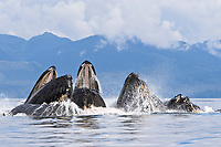 a group of adult humpback whales, Megaptera novaeangliae, co-operatively 'bubble-net' feeding along the west side of Chatham Strait, Alaska, USA, Pacific Ocean