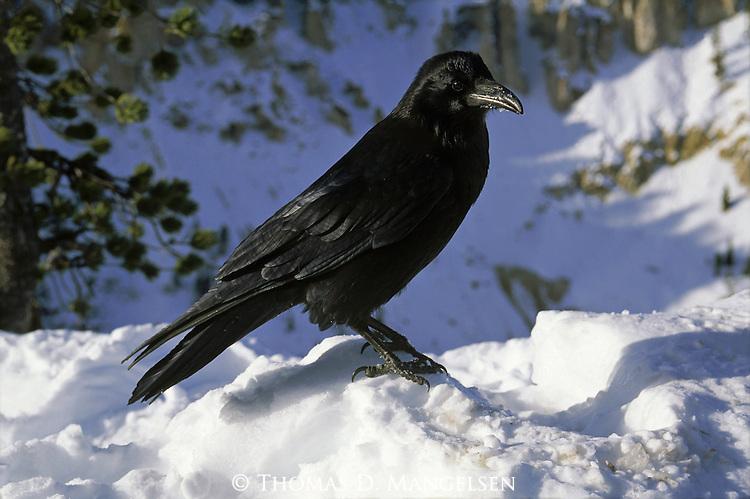 A Common Raven perches in the snow.