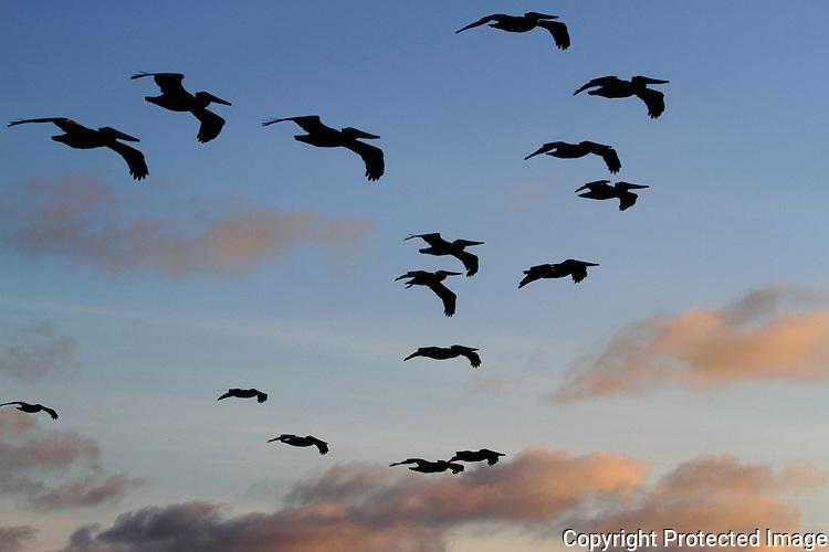 Carlsbad Pelicans