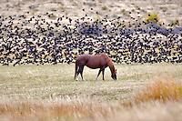 Horse in pasture with red winged blackbirds. Montana