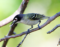 Male black-capped vireo