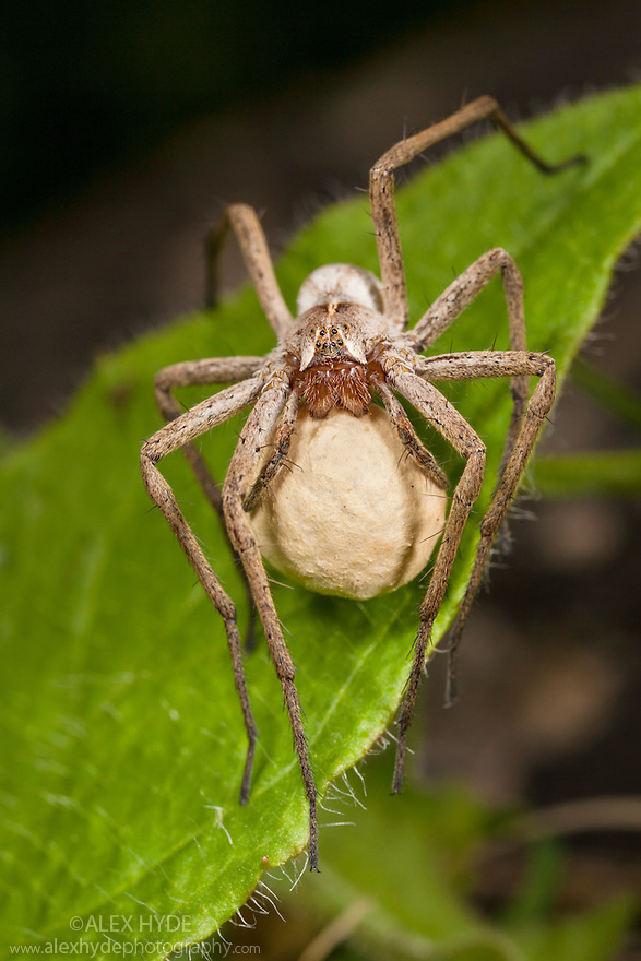 how to get rid of nursery web spider