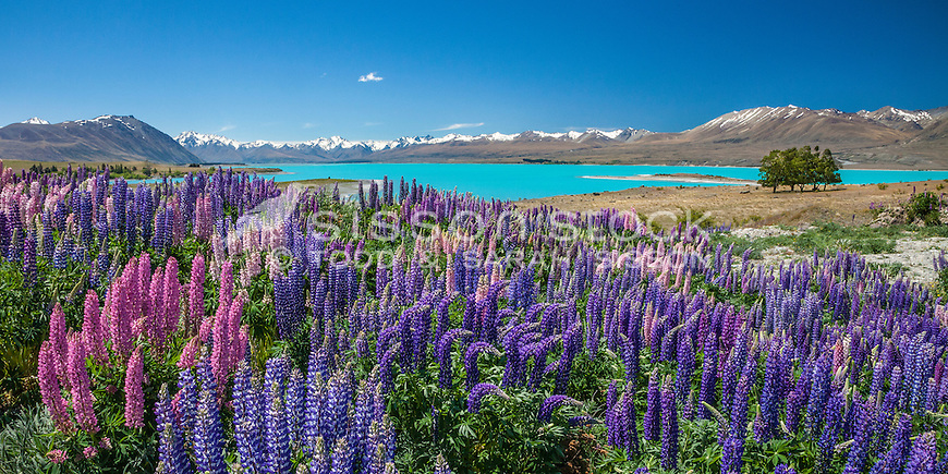 Mass of flowering pink and purple lupins with Lake Tekapo in the background, Mackenzie Country, Canterbury, South Isalnd, New Zealand - stock photo, canvas, fine art print