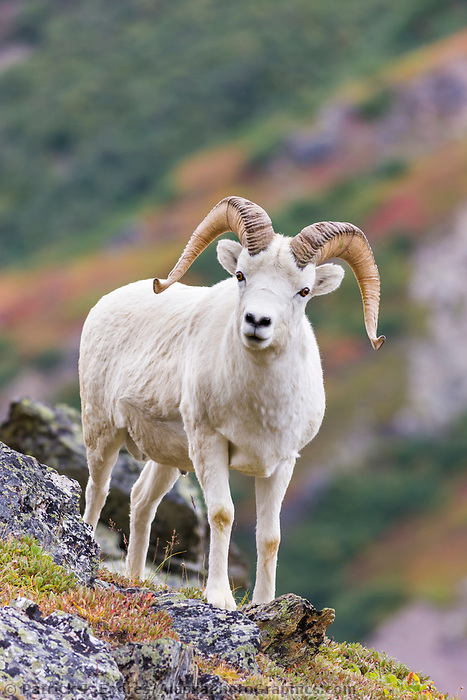 Dall sheep ram on a mountain ridge in Denali National Park, interior, Alaska.