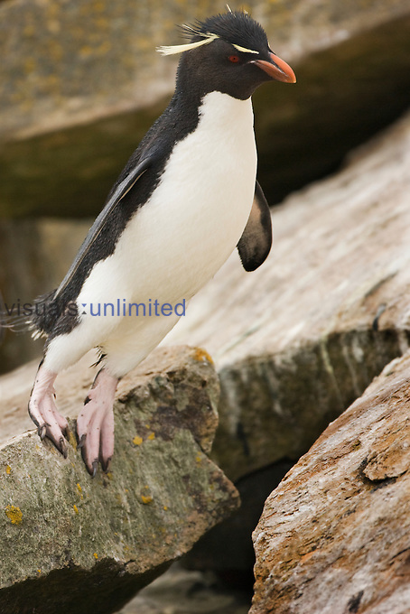Rockhopper Penguin (Eudyptes crestatus) about to leap off a rock onto a ledge, Falkland Islands.