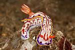 A Chromodoris nudibranch (Hypselodoris kaname).