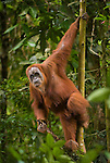 Sumatran orangutan hangs on a sapling, Bukit Lawang, North Sumatra