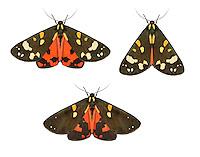 72.029 (2068)<br /> Scarlet Tiger - Callimorpha dominula
