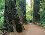 Muir Woods National Monument, CA<br /> Fenced Trail in a grove of Coast Redwoods (Sequoia sempervirens)