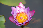 Water lily flower, Nymphaea sp, Bandhavgarh National Park, pond, purple.India....