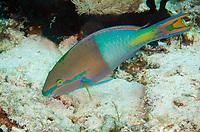 Yellowfin Parrotfish, Scarus flavipectoralis, male, Mangrove Ridge dive site, Yanggefo Island, Dampier Straits, Raja Ampat (4 Kings), West Papua, Indonesia, Indian Ocean