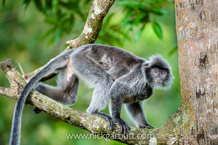 Female Silvered Langur or Silver Leaf Monkey (Presbytis cristata) carrying young infant (not visible). Bako National Park, Sarawak, Borneo.