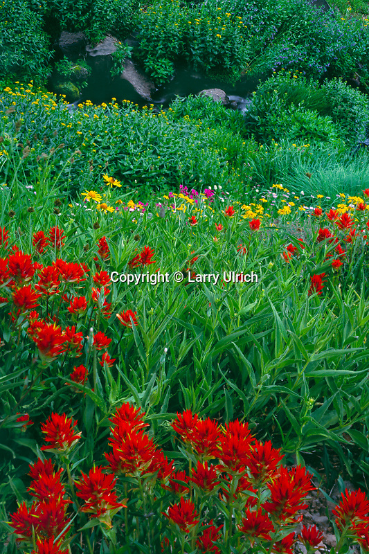 Scarlet paintbrush, orange sneezeweed, Lewis' monkeyflower,  and arrowleaf groundsel<br /> Big Indian Gorge,  Steens Mountain<br /> Andrews Resource Area BLM,  Oregon
