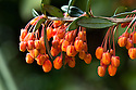 Rich orange flowers of Berberis linearifolia, late March.