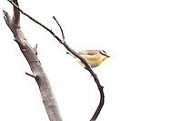 Striated Pardelote, near Arkaroo Rock,  Flinders Range, SA, Australia