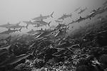 Schooling Grey Reef Sharks, Apataki Atoll, French Polynesia
