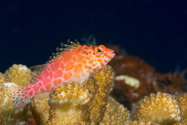 Pixy Hawkfish, Cirrhitichthys oxycephalus, Maldives